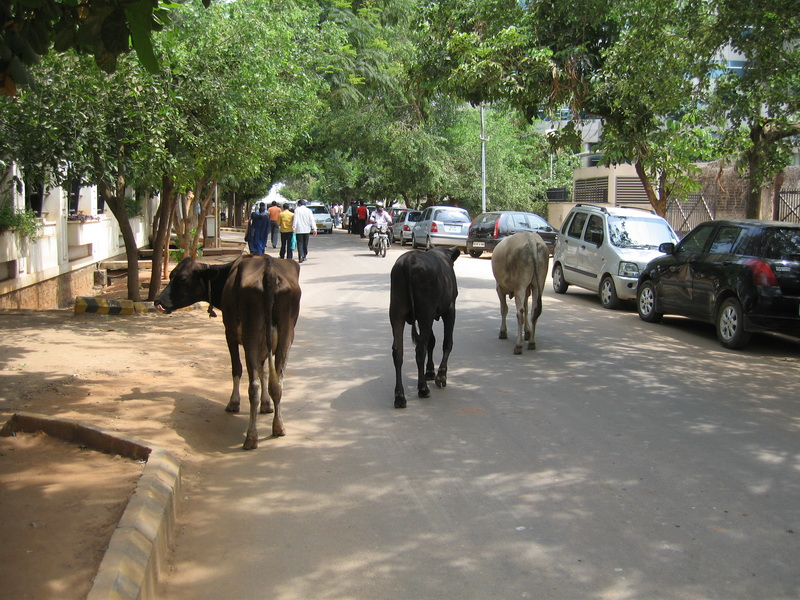 India cows on street